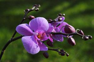 close-up of the Dendrobium Phalaenopsis flower